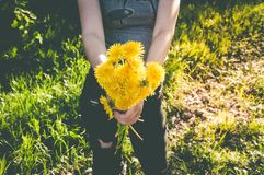 Closeup bouquet of yellow dandelions in womans hands Royalty Free Stock Photos