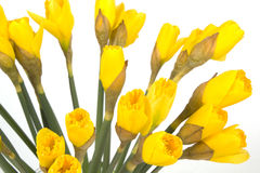 Closeup bouquet of yellow lent lily (daffodil) isolated on white Stock Photography