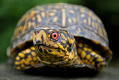 Closeup of box turtle Royalty Free Stock Photography