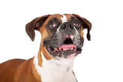 Closeup of Boxer Dog Looking Up Royalty Free Stock Images