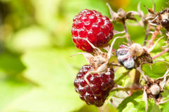 Closeup of Boysenberries on a Vine Stock Photography