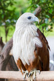 Closeup Brahminy Kite. Red-backed Sea Eagle. Thailand, vertical. Stock Image