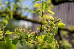 Branch of an apple tree just after blossoming. Closeup of the branch of an apple tree just after blossoming. The tree grows in a garden. It is springtime now Stock Images