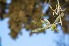 Closeup branch of beautiful olive tree showing fruits and leaves with green tree bokeh and blue sky background on sunshine day Stock Images