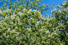 Closeup of branch of bird cherry, brightly backlit against sky. Bird cherry flowers Stock Images