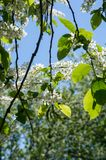 Closeup of branch of bird cherry, brightly backlit against sky. Bird cherry flowers Stock Photography