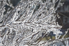 Closeup of branch covered in ice Royalty Free Stock Image