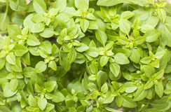 Closeup in a branch of fresh greek basil stock images