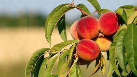 Closeup of branch with fresh ripe peaches and leaves on the tree. Sunny windy day.  stock footage
