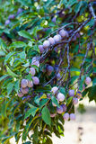 Closeup of a branch with plums Stock Photo