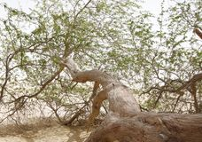 Closeup of a branch tree of life, Bahrain Royalty Free Stock Photography
