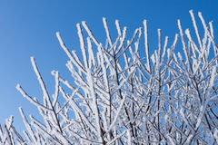 Closeup of branches of a snow winter tree Royalty Free Stock Image