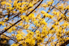 Japanese 'Cornelian' Cherry Tree Royalty Free Stock Photos