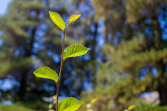 Closeup of a brancn. Closeup of a branch with unfocused trees as background stock photos