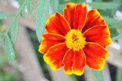 Closeup of bright flower (tagetes) Royalty Free Stock Images