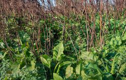 Closeup of bright green leaves of sorrel plants eaten by insects. In the foreground with in the background withered stems and leaves of other wild plants. It is royalty free stock image