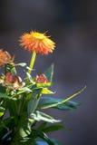 Closeup of a bright orange flower. Closeup of a single orange flower macro Stock Photo