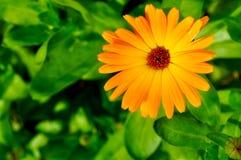 Closeup of bright orange marigold flower. Stock Photos