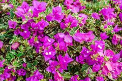 Closeup of bright pink bougainvillea blossoms as a background Royalty Free Stock Image