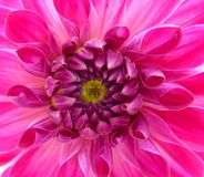 Closeup bright pink dahlia flower Royalty Free Stock Photography