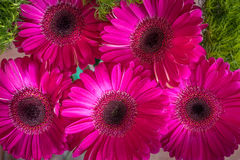 Closeup of bright pink gerbera daisies on a green spring background. For women`s day, 8 March, card for mother`s day, or any other holiday Royalty Free Stock Photos