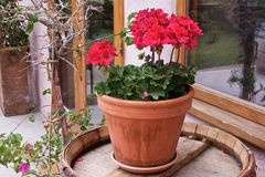 Closeup of red geranium in a ceramic pot on a wooden barrel. Closeup of bright red geranium in a ceramic pot on a wooden barrel stock images