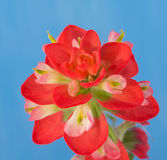 Closeup of a bright red Indian Paintbrush flower. Against blue background Stock Images