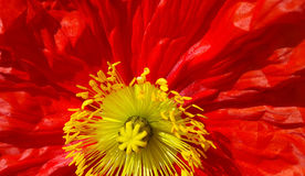 Closeup of bright red poppy Stock Images