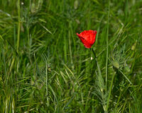 The closeup the bright red poppy in spring. The closeup the bright red poppy in spring, wild flower blooms on a meadow Stock Photography