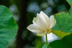 Closeup bright white lotus petals. Closeup of bright white lotus petals stock image