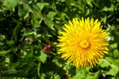 Closeup of a bright yellow blooming Sow Thistle Sonchus oleraceus. On green grass background Stock Photos