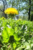 Closeup of a bright yellow blooming Sow Thistle Sonchus oleraceus. On green grass background royalty free stock images