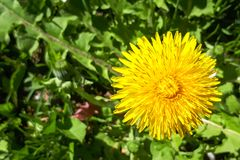 Closeup of a bright yellow blooming Sow Thistle Sonchus oleraceus. On green grass background royalty free stock photography