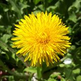 Closeup of a bright yellow blooming Sow Thistle Sonchus oleraceus. On green grass background stock photo