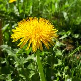 Closeup of a bright yellow blooming Sow Thistle Sonchus oleraceus. On green grass background Royalty Free Stock Photos