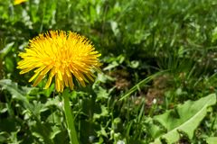 Closeup of a bright yellow blooming Sow Thistle Sonchus oleraceus. On green grass background royalty free stock image