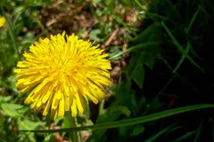 Closeup of a bright yellow blooming Sow Thistle Sonchus oleraceus. On green grass background Stock Images