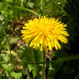 Closeup of a bright yellow blooming Sow Thistle Sonchus oleraceus. On green grass background Stock Photography