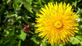 Marco dandelion. Closeup of a bright yellow blooming Sow Thistle (Sonchus oleraceus) on green grass background royalty free stock images