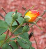 A brilliantly colored yellow and bright orange rose bud. Closeup of a bright yellow and neon orange rose bud royalty free stock photography