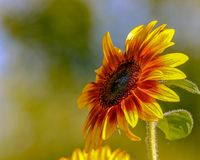 Closeup of a Brilliant Yellow Sunflower facing upward left toward the sunlight. In a garden near Lake Harriet in Minneapolis, Minnesota Royalty Free Stock Photos