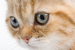 Closeup  British  breed kitten. Stock Photos