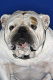 Closeup Of British Bulldog Royalty Free Stock Photos