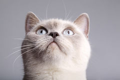 Closeup of a british short hair cat Stock Photos