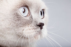Closeup of british short hair cat Royalty Free Stock Photos