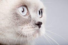 Closeup of british short hair cat Royalty Free Stock Photos
