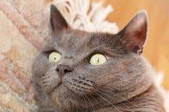 Closeup of a british short hair cat. Stock Images