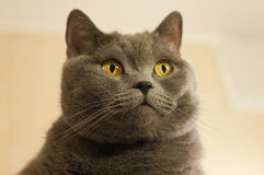 Closeup of British Shorthair cat Royalty Free Stock Photo