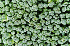 Closeup of broccoli texture Stock Image