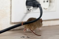 Closeup broken wire. The mouse runs away. royalty free stock photo